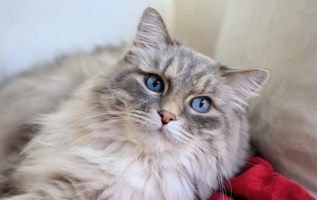 Long Haired Cat Grooming article by Anita Kelsey | Vet Index